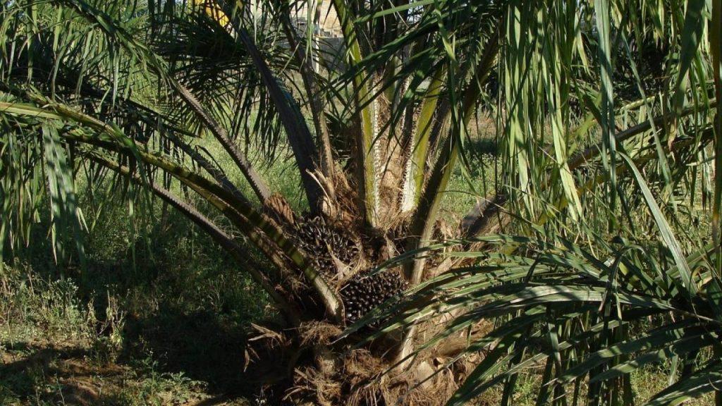 prospek-usaha-kelapa-sawit