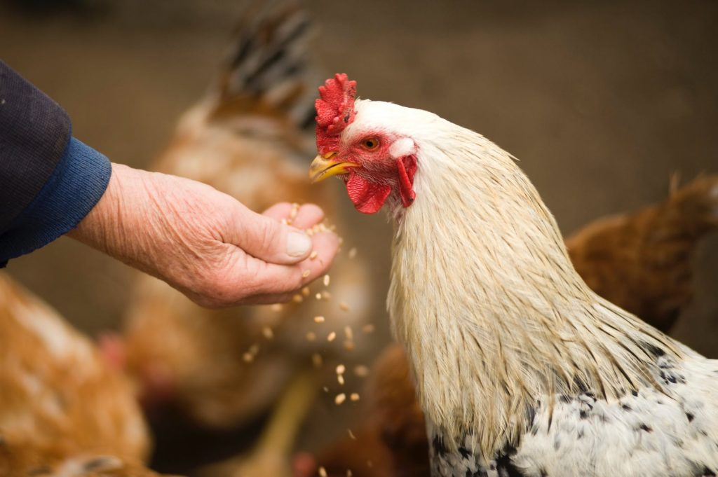 bisnis-ayam-petelur