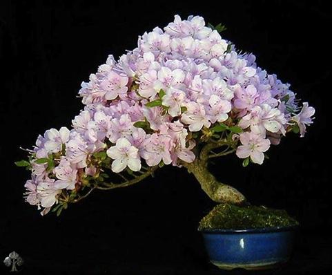 bonsai termahal di dunia - wolfgang putz