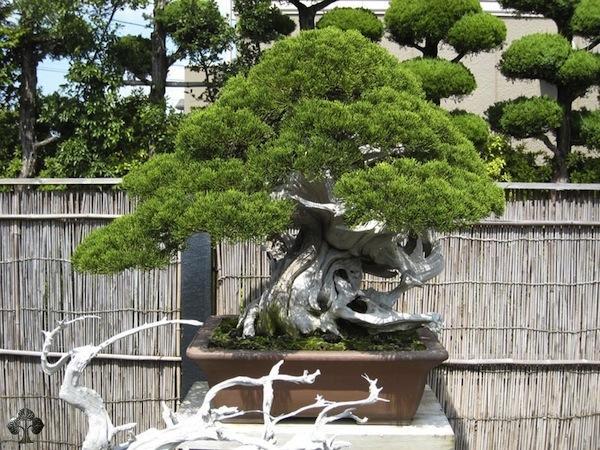 bonsai master kimura