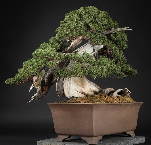 bonsai shunkaen