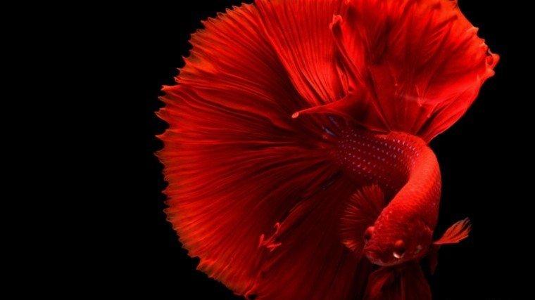 ikan cupang bisa jadi ladang bisnis